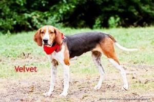 Velvet 3